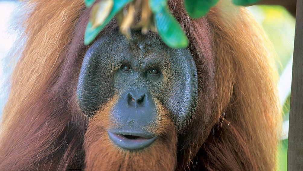 Show item 1 of 5. Private Semenggok Wildlife Rehab Center Tour