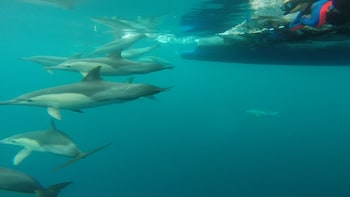 Wild Dolphin Swimming Experience in Port Stephens