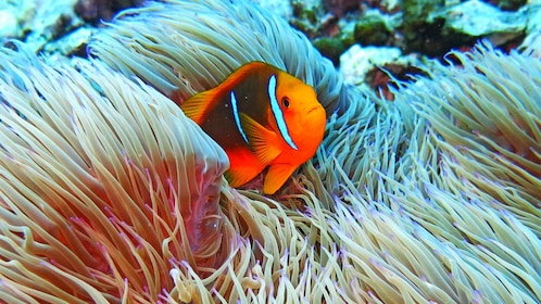 Close up of a fish at the Snorkeling Guided Tour at the Moorea Lagoonarium in Bora Bora