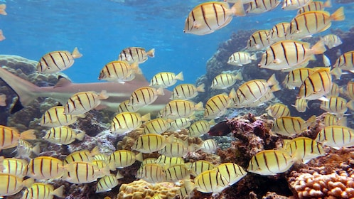 Close up of yellow fish at the Moorea Lagoonarium in Bora Bora