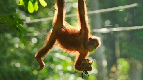 Young orangutan hanging from a tree in Kota Kinabalu