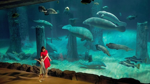 Girl and mother viewing manatees in large aquarium