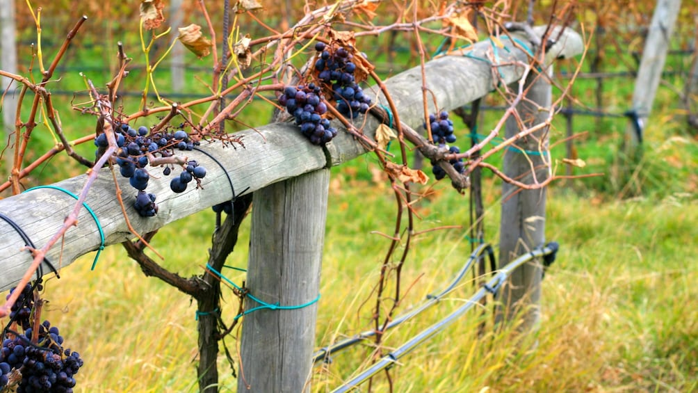 Show item 3 of 8. wooden fence posts at the vineyard in Budapest