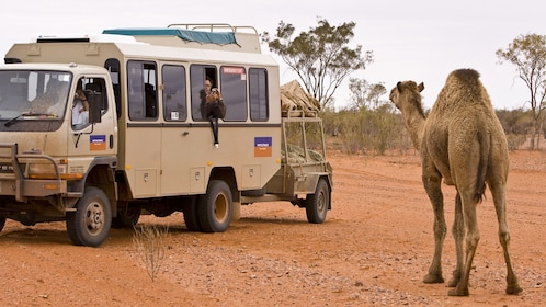A camel next to a tour van in Alice Springs