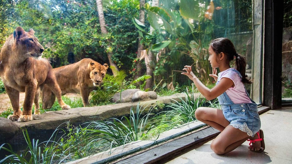 girl pressing up against the museum glass to look at lions in Bali