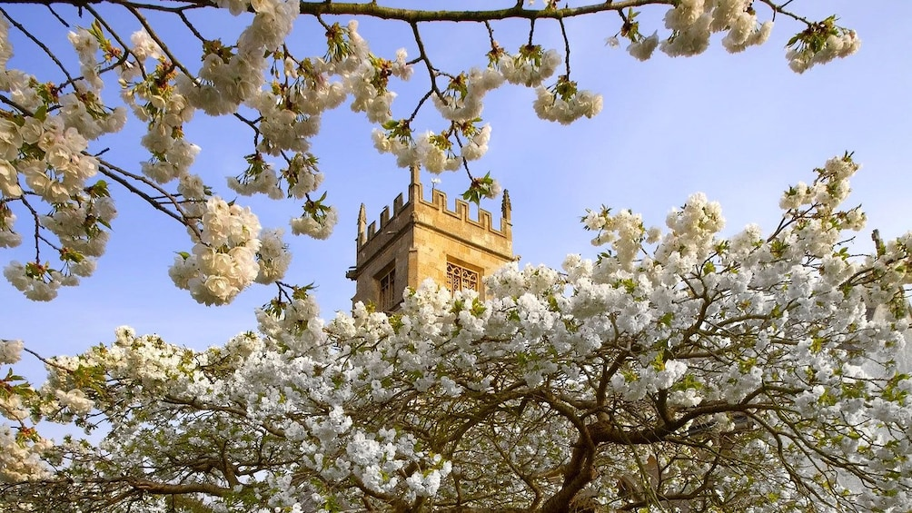 Looking up at a tower of a castle through white cherry blossoms