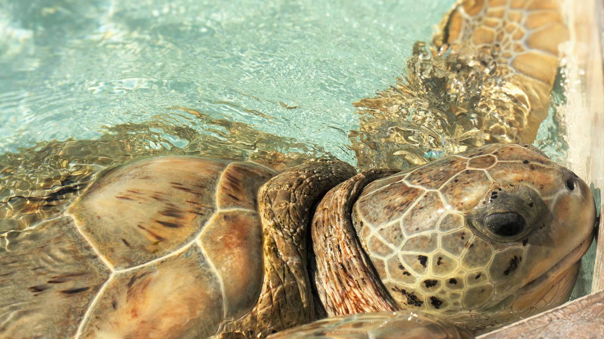 Close up of a turtle in the Cayman Islands