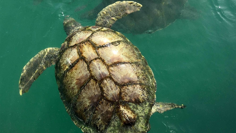 Turtle swimming in water in the Cayman Islands
