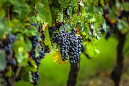 Bordeaux vines.jpeg