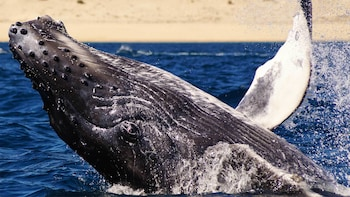 Humpback Whale Watching - Cabo San Lucas