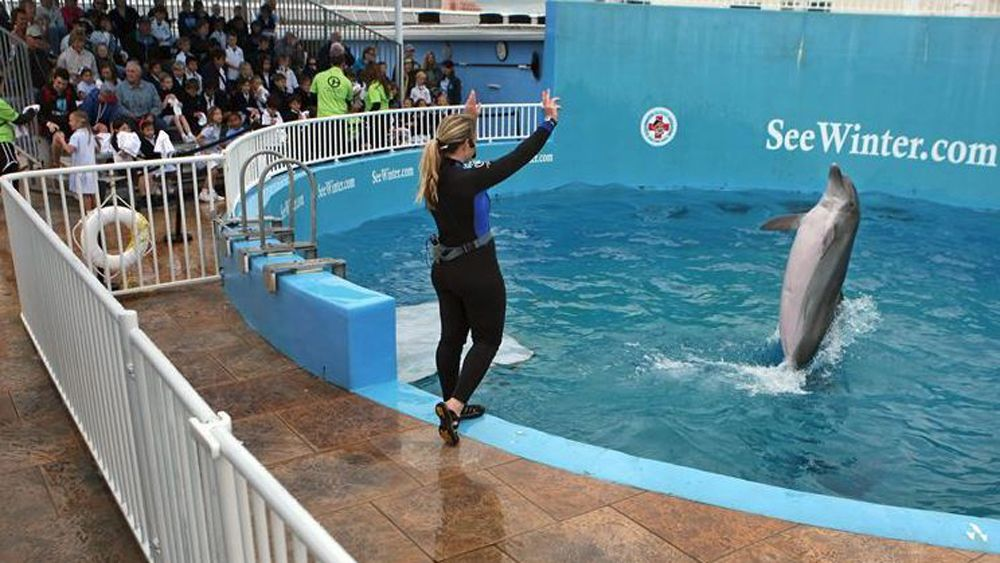Winter the dolphin, from the movie A Dolphin's Tale at Clearwater Aquarium doing a trick for a show