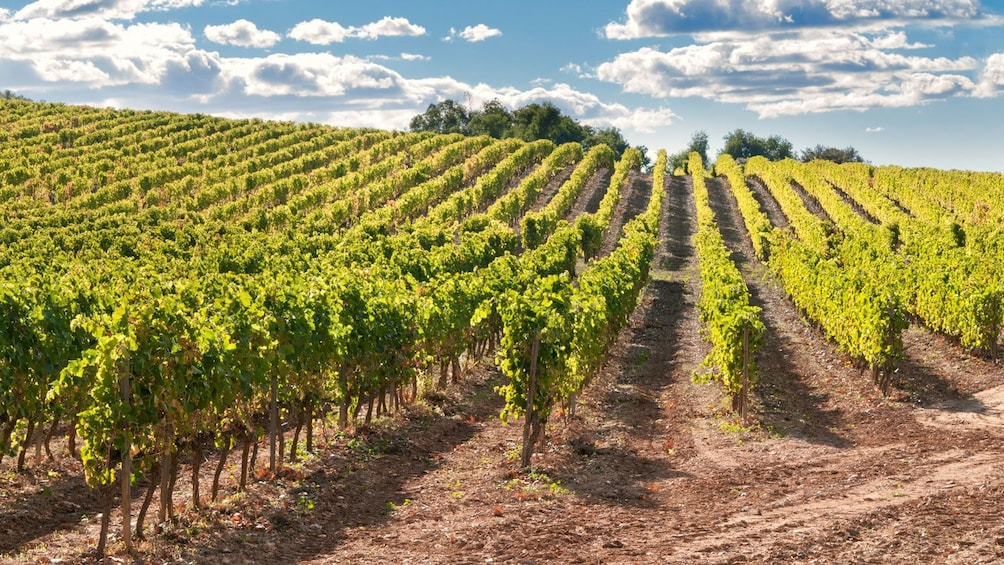 walking through a vineyard in Barcelona