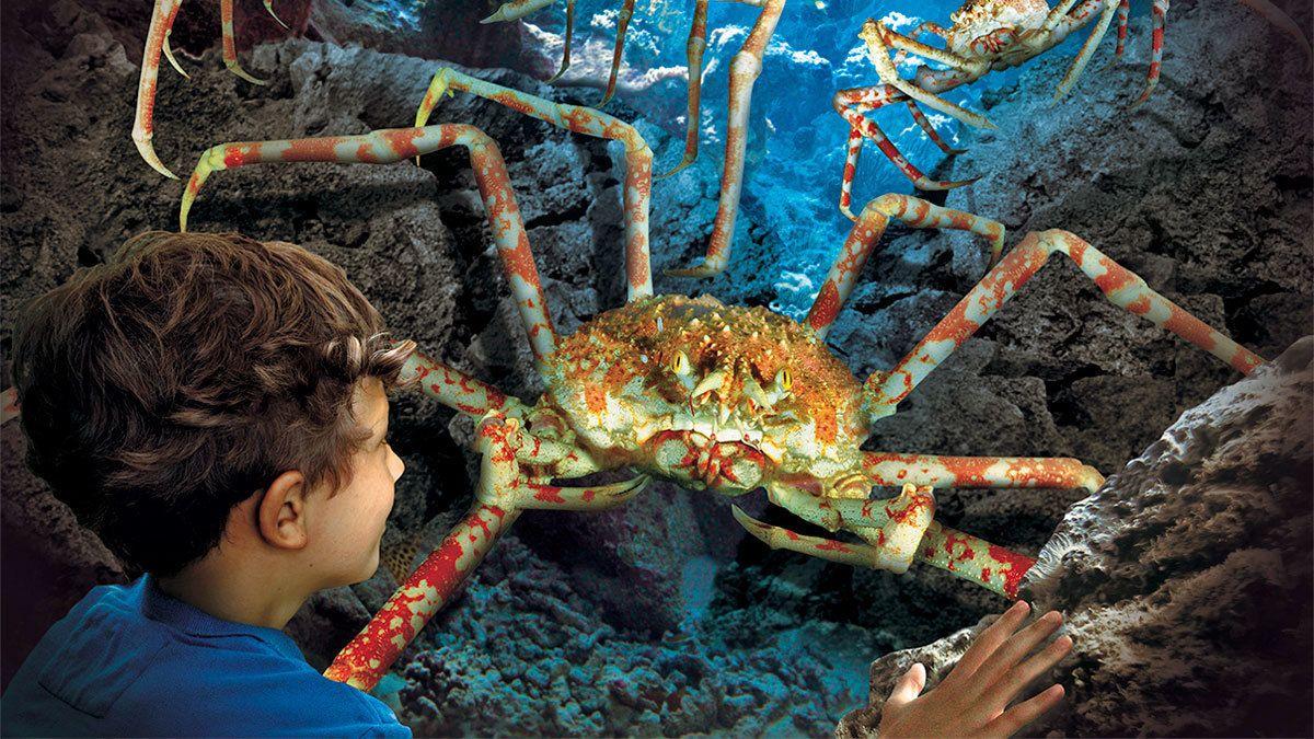 boy looking at a king crab at the aquarium in Manchester