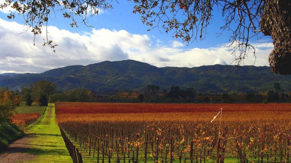 Landscape view of vineyard.