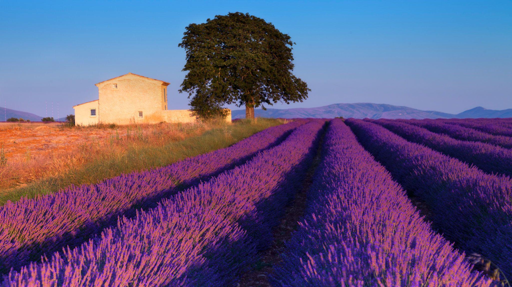 farm house at lavender field