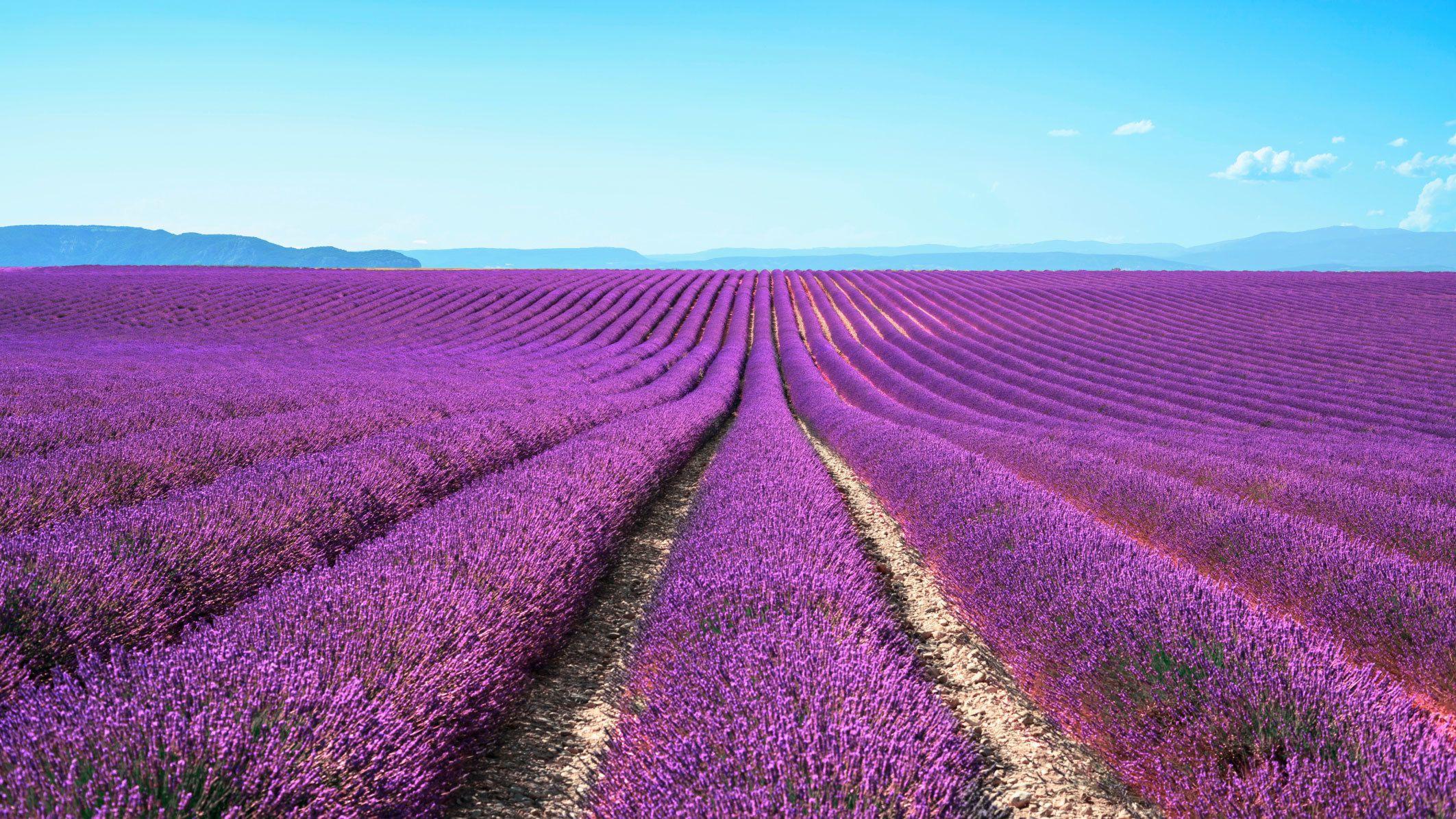 expansive lavender field in paris