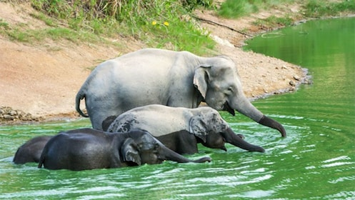Adult and adolescent elephants in the water at Kui Buri