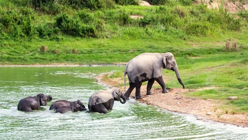 Adult and baby elephants walking out of the water at Kui Buri