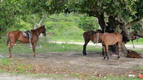 Tethered horses by a tree in Fiji