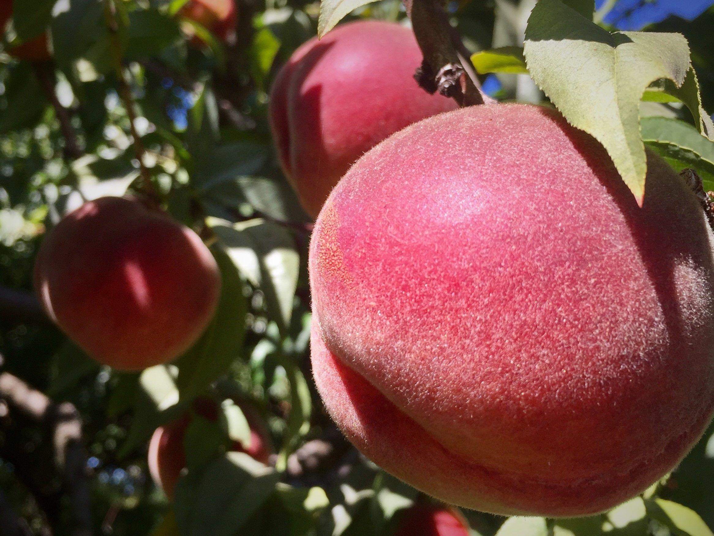 Peaches in Oregon Fruit Loop.jpg