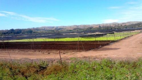 Crops growing in a field in Fiji