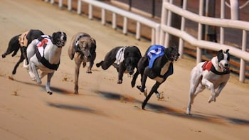 Corrida de greyhounds irlandeses no Estádio Shelbourne Park Greyhound
