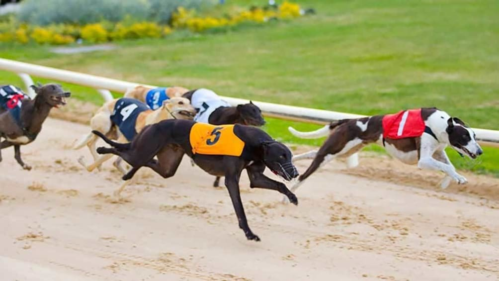 Foto 2 van 5. racing greyhounds in Dublin