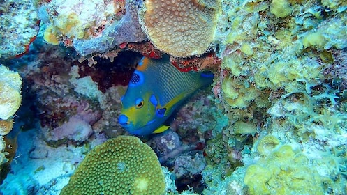 Close up view of a blue and yellow fish in the St. Thomas & St. John, US Virgin Islands