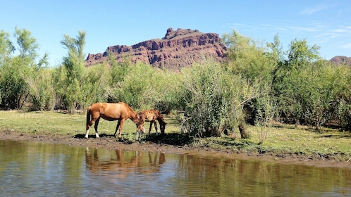 Wild horses near the river bank in Arizona