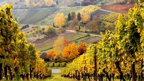 Vineyard in rural Frankfurt