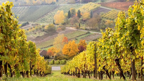 Vineyards in the Rhine Valley