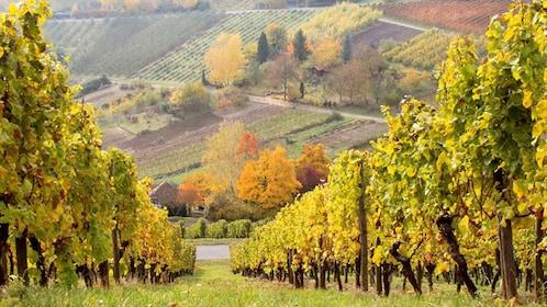 Vineyard in the Rhine Valley