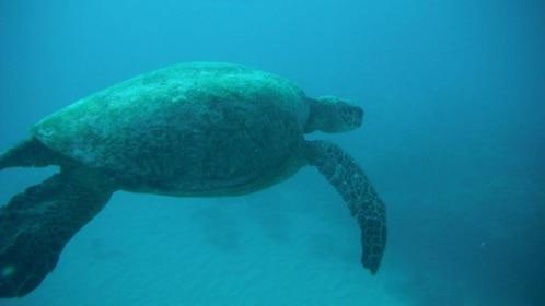 Encounter sea turtles while snorkeling off the coast of Waikiki