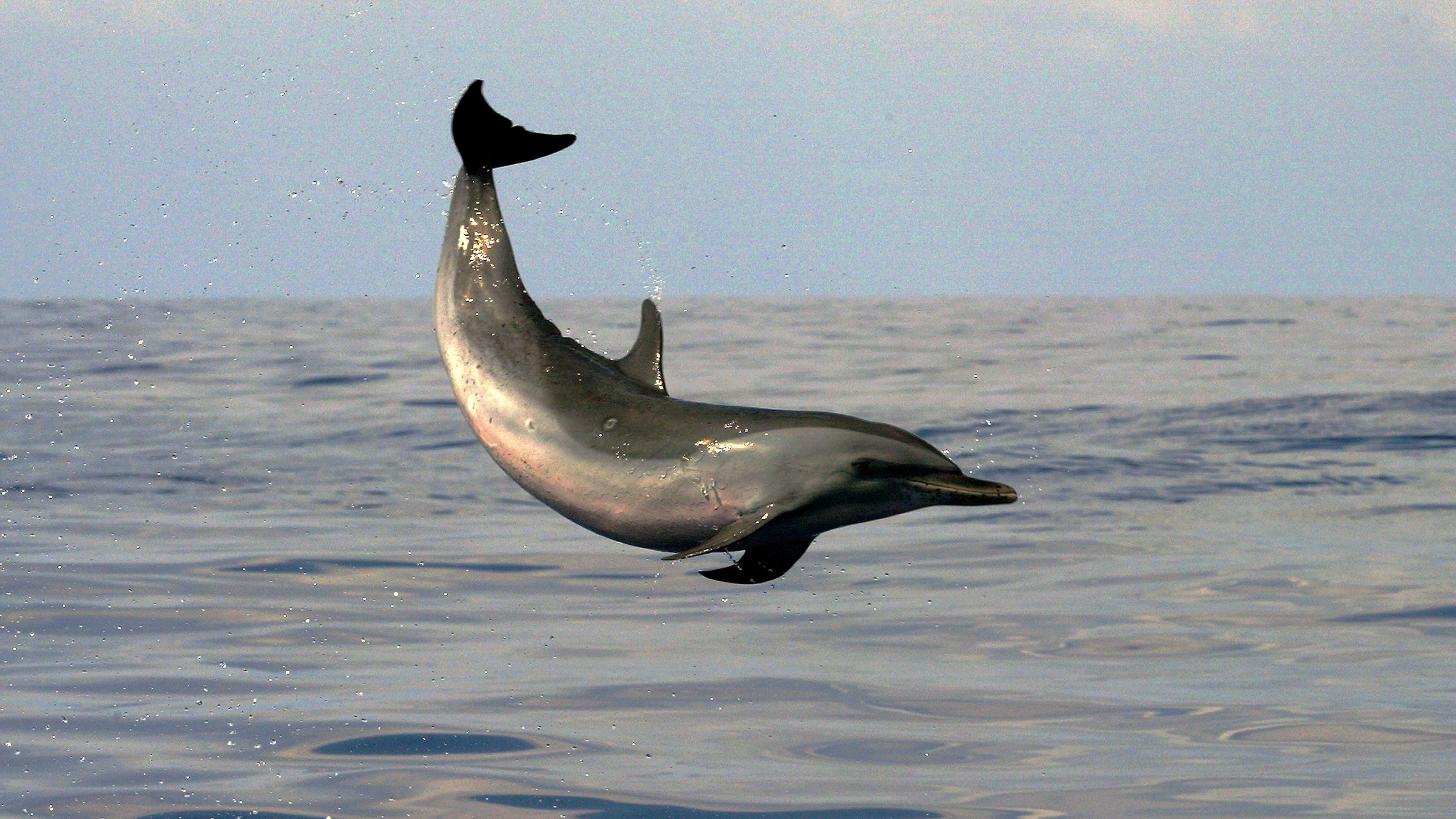 Dolphin in the air in the pacific ocean