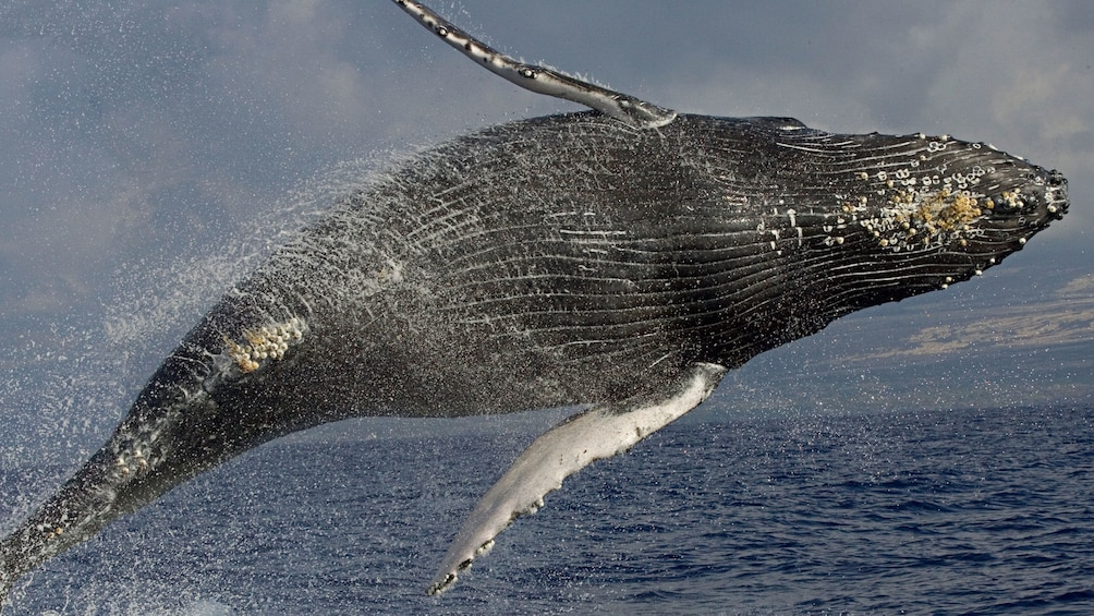 Show item 4 of 8. Whale in the air from doing a side jump out of the water near Hawaii