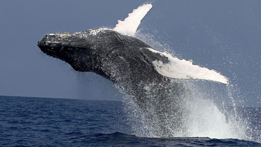 Show item 3 of 8. Whale getting some air in the back flip into the water in the pacific ocean near Hawaii