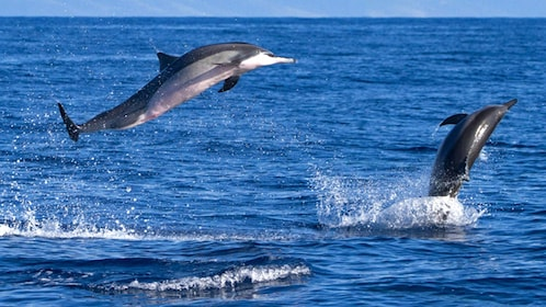 Dolphins jumping out of water around Maui