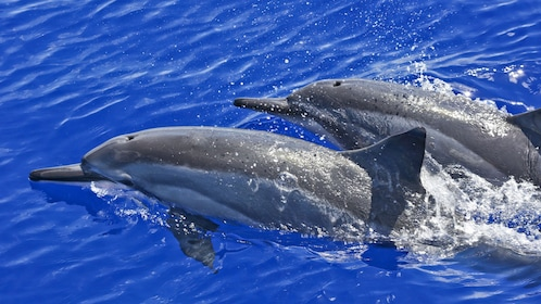 Couple of dolphins swimming along in water around Maui