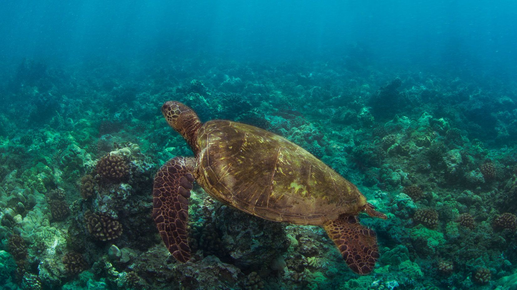 Sea turtle swimming in the ocean near Maui