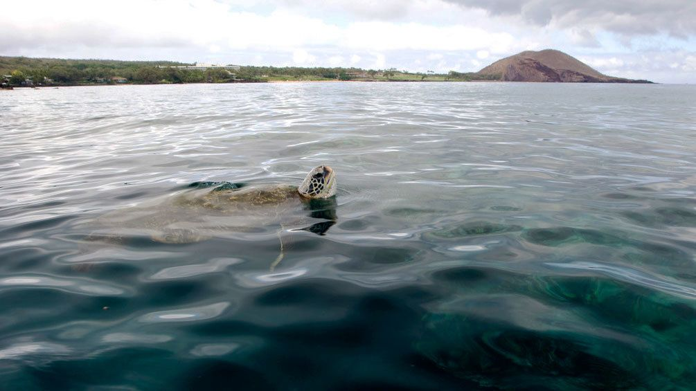 Sea turtle poking head out of the water near Maui