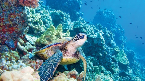 Sea turtle on reef underwater in the Pacific Ocean near Maui
