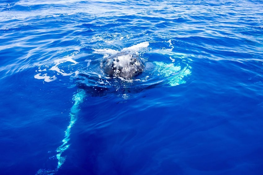 Show item 3 of 9. Maui Whale Watching Tour from Lahaina