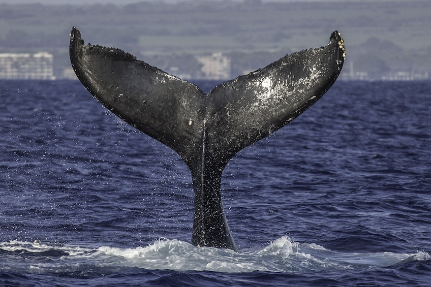 Show item 4 of 9. Maui Whale Watching Tour from Lahaina