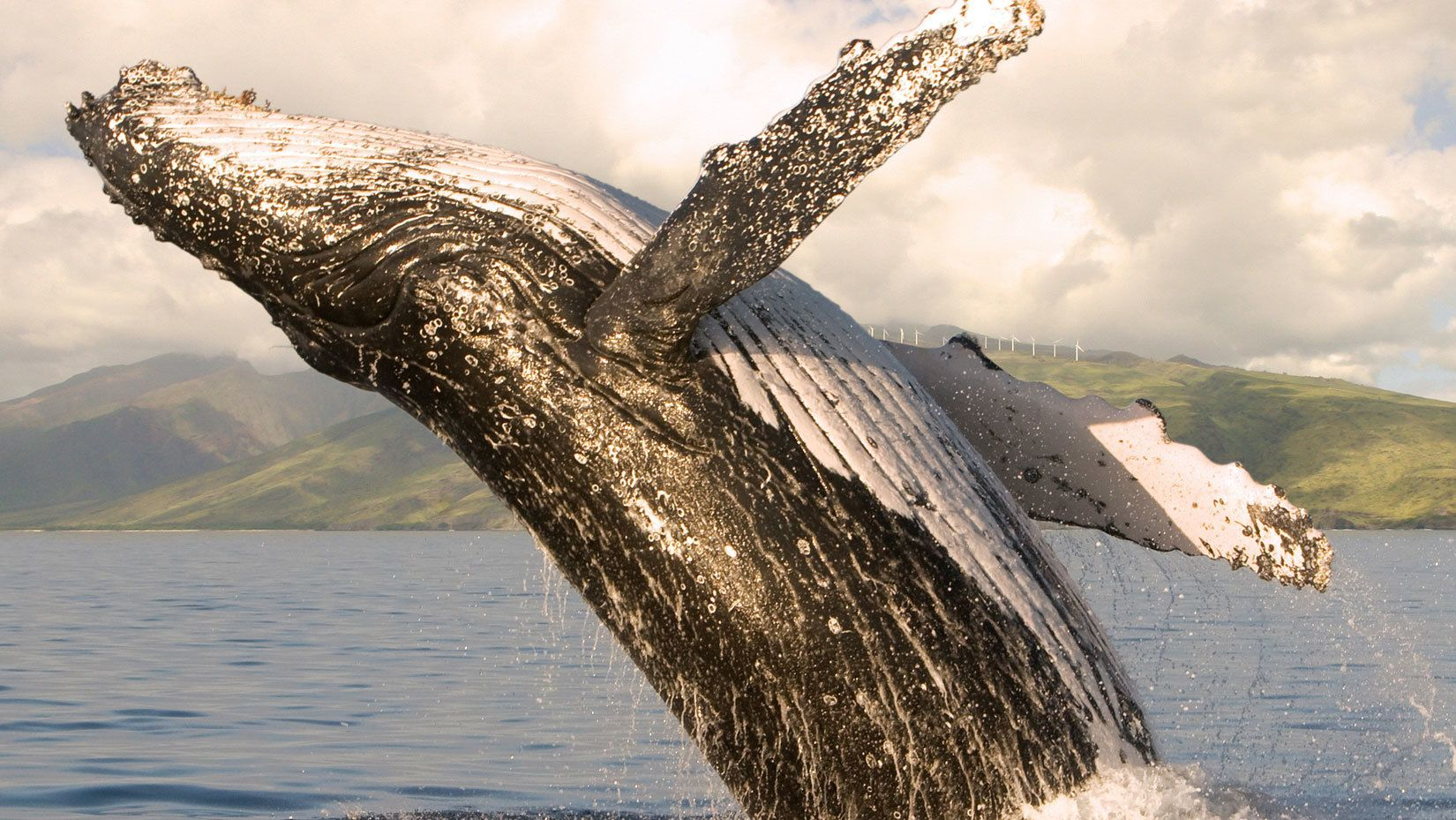 Close up of whale doing a back flip into the water near Maui