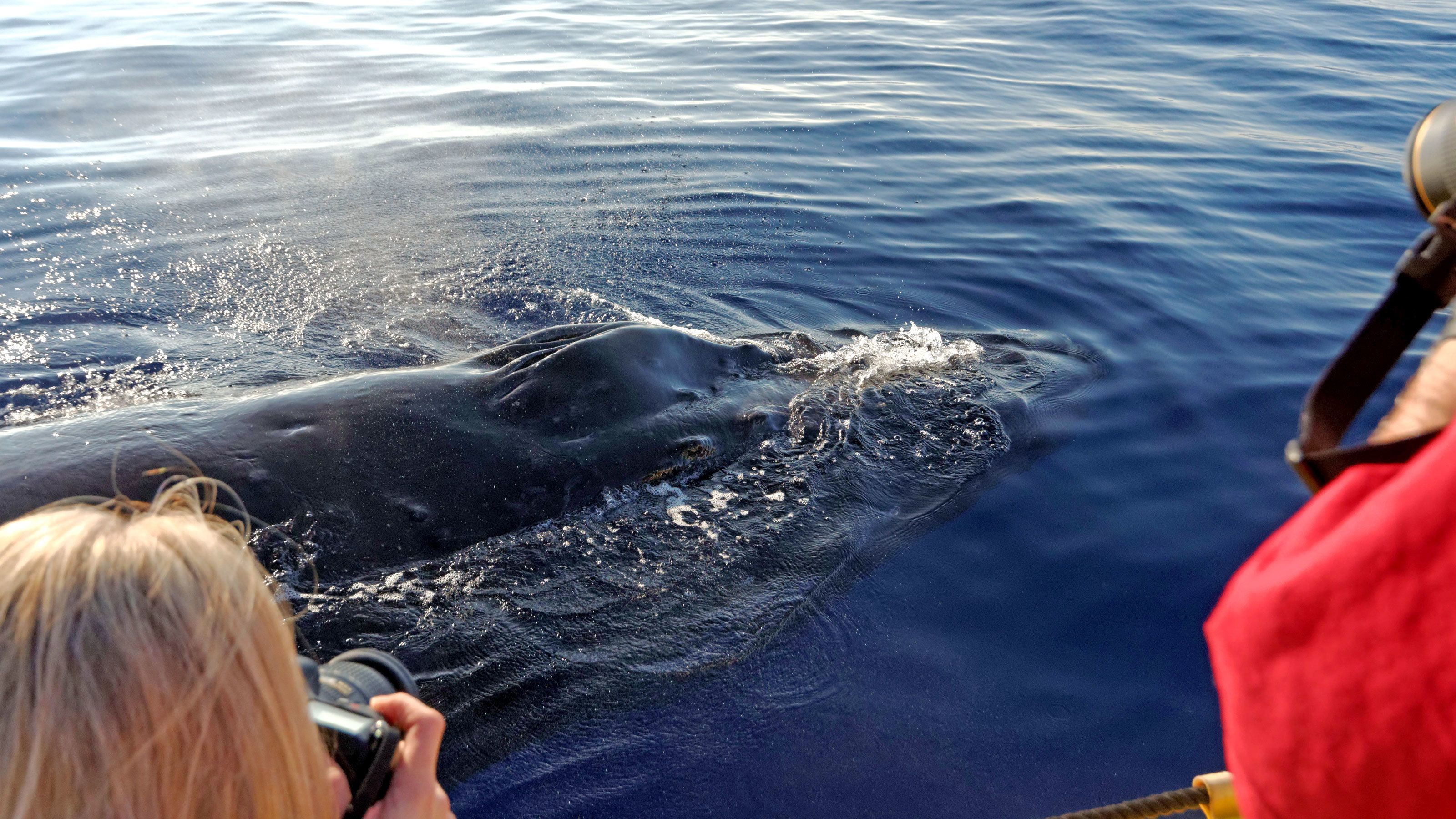 Humpback whale surfaces off guide boat