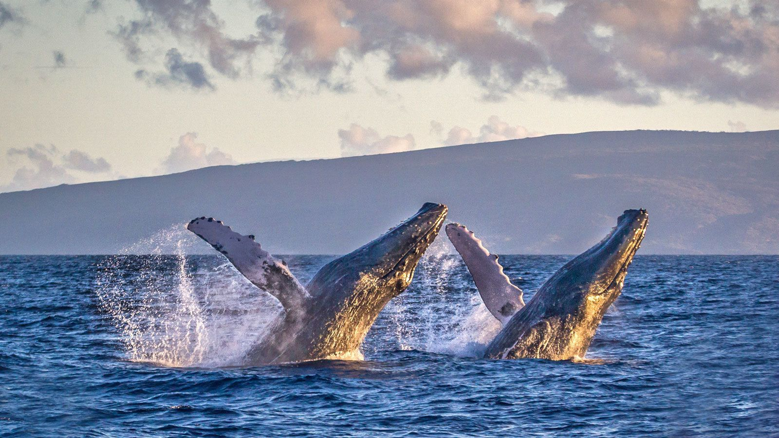 Two humpback whales breach in perfect unison in the waters off Lahania