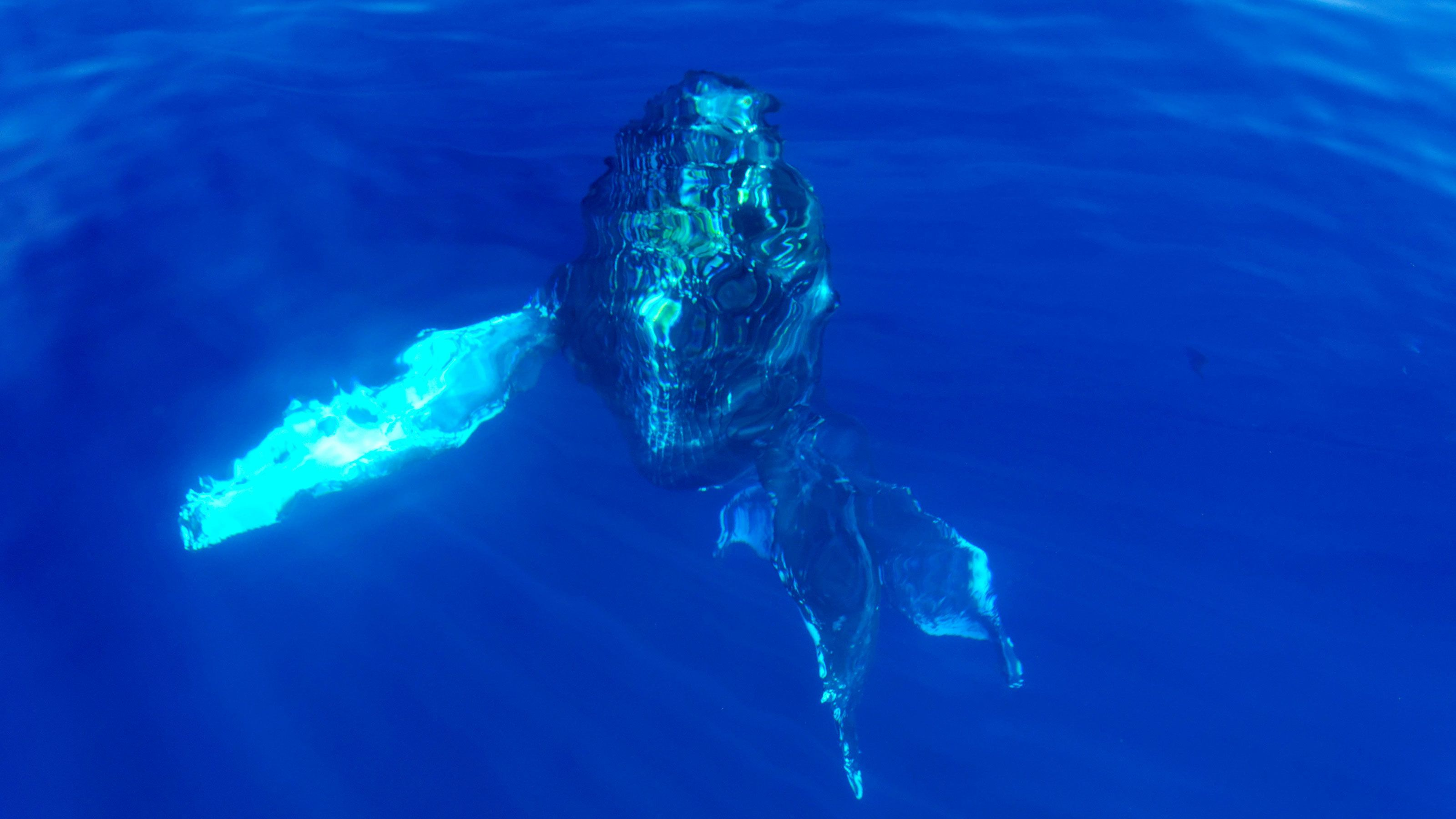 Humpback whale prepares to surface in the waters off Lahania