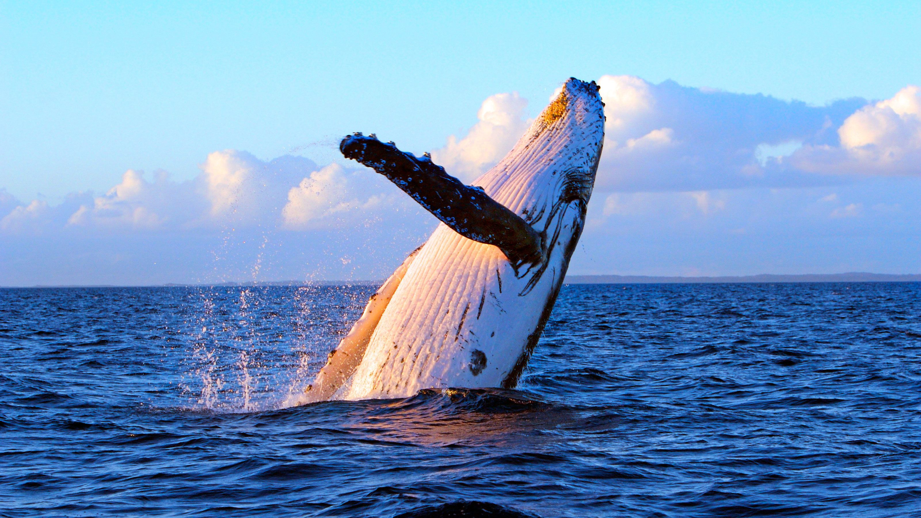 Humpback whale breaches in the waters off Lahania