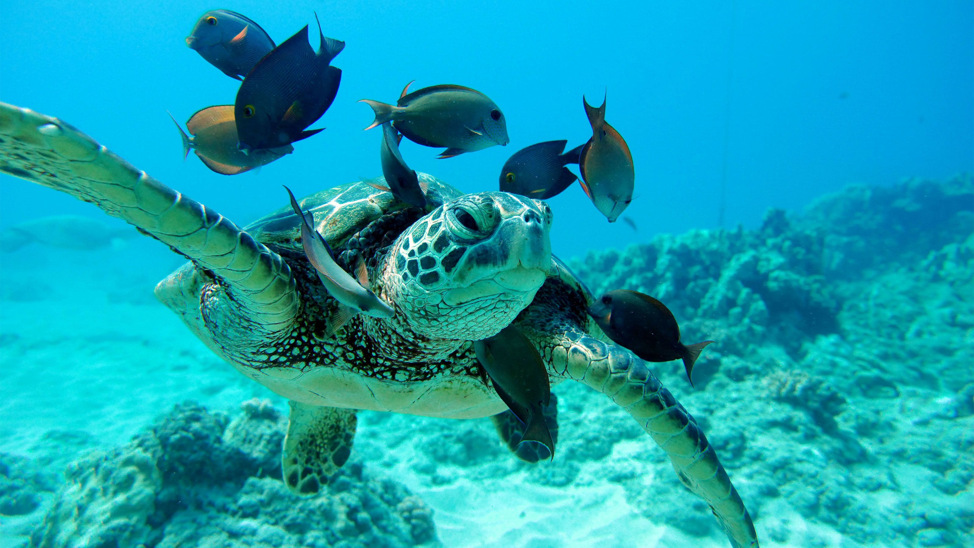 Turtle and fish in Oahu