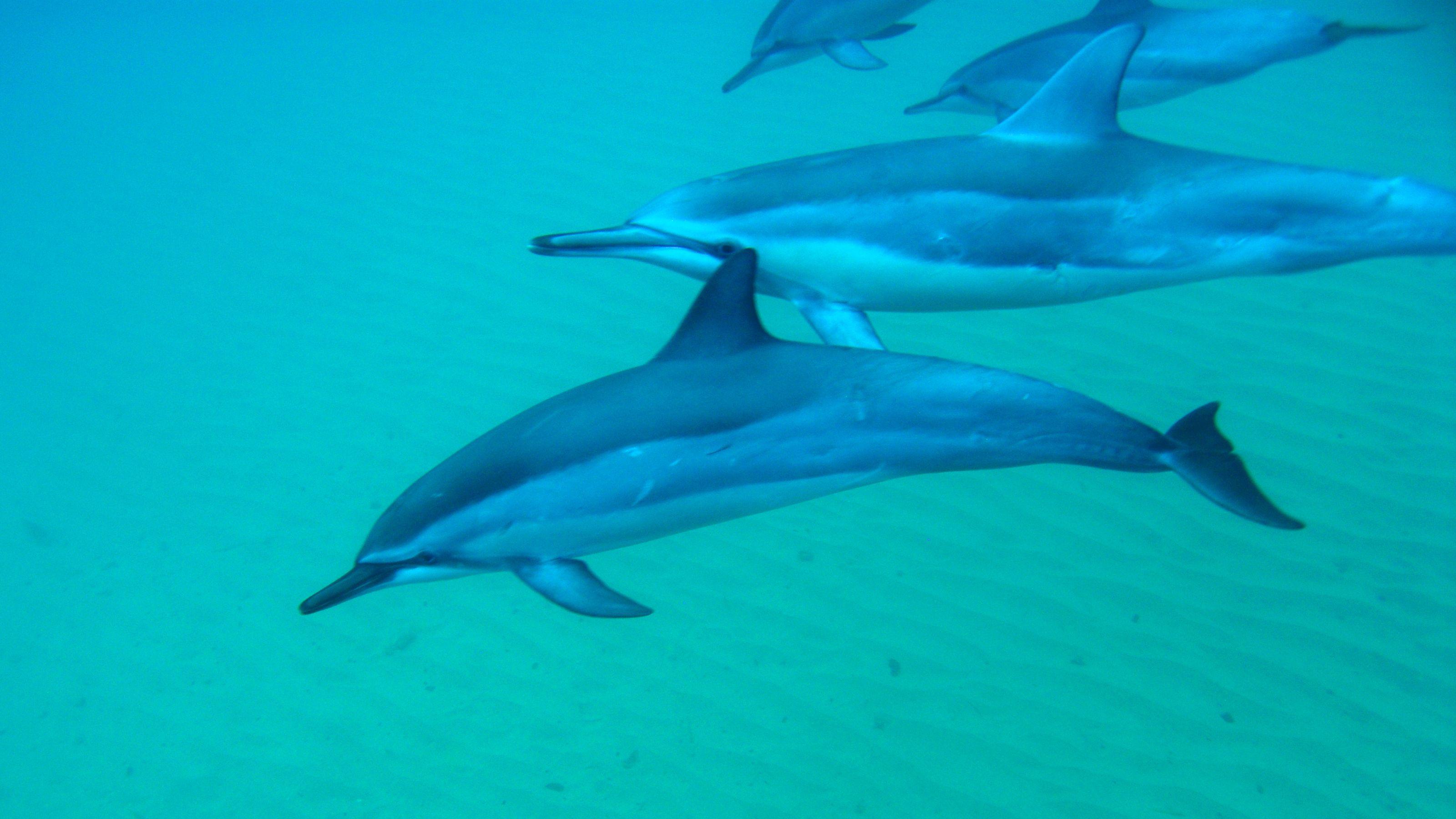 Dolphins in Kauai